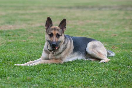 looking ahead: German Shepard puppy relaxing in the grass looking ahead.