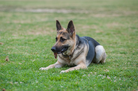 shepard: German Shepard puppy relaxing in the grass with pine cone in mouth while looking ahead.