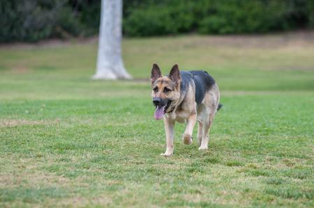 german shepard: German Shepard puppy running across the grass