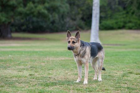 german shepard: German Shepard puppy looking across the grass