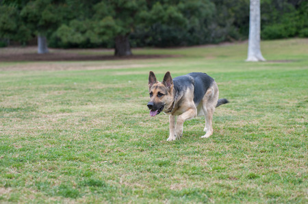 shepard: Wider view of German Shepard puppy running across the grass Stock Photo