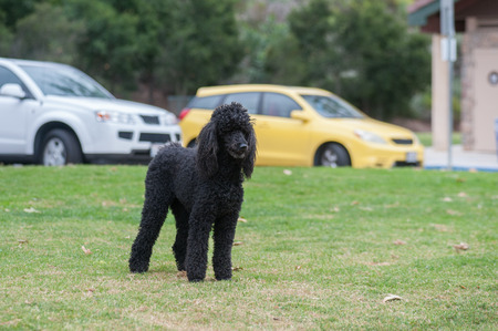 Large American Standard Poodle looking across dog park.