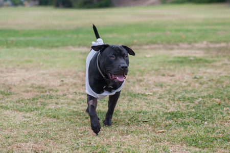 pit bull: Pit Bull mix puppy running across the grass