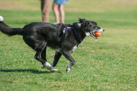 streamlined: Streamlined Border Collie running fast at dog park with ball in mouth.