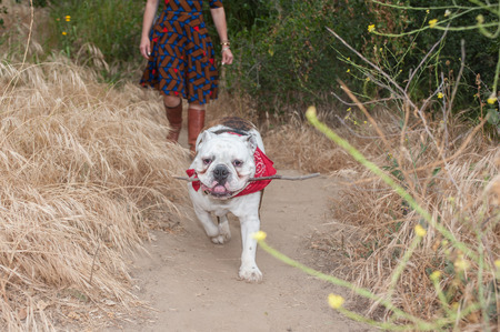 hiking path: English Bulldog running ahead of master on the hiking path. Stock Photo