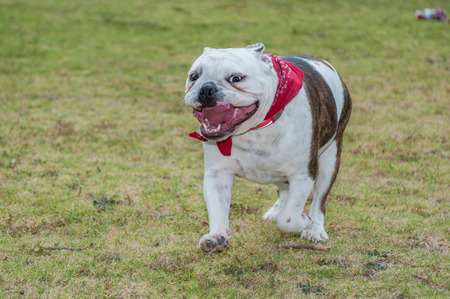 English Bulldog puppy running with mouth wide open at park. Stock Photo