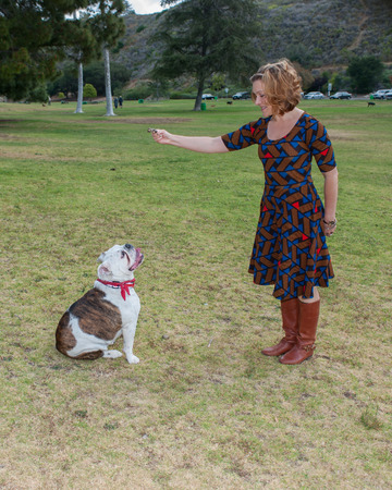 obedient: English Bulldog sitting obedient to his master.