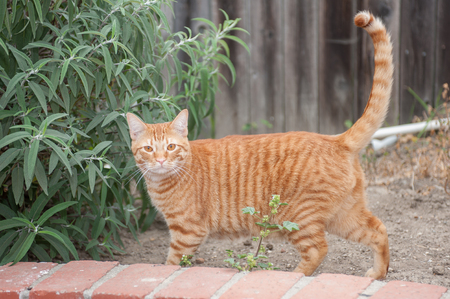straight up: Orange Tabby cat stimulated with tail straight up. Stock Photo