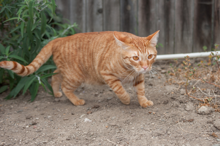 instincts: Orange Tabby cat on the prowl outside.