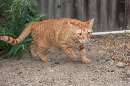 prowl: Orange Tabby cat on the prowl outside.