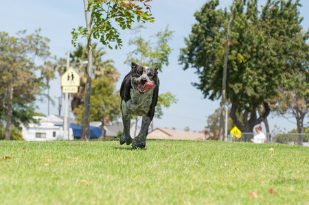 eager: Landscape view of Pit Heeler mix dog running with mouth open. Stock Photo