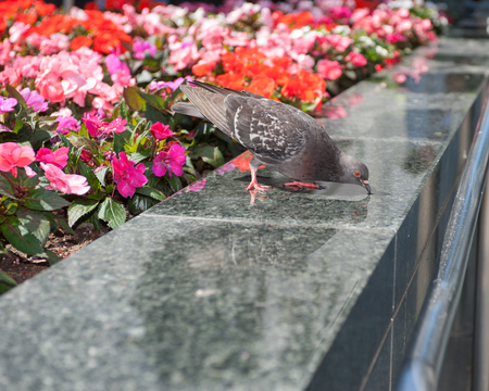 City pigeon drinking water off the stone planter.