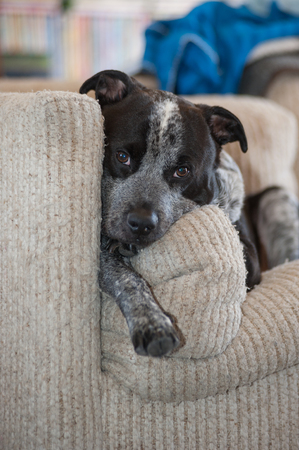 Mixed breed pit bull dog looking comfortable on the couch. Stock Photo