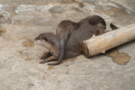 Pair of Asian Small Clawed Otters keeping each other warm.