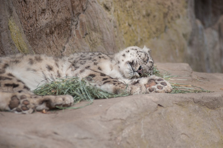 furry: Furry Snow Leopard sleeping on its side. Stock Photo