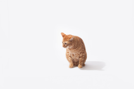 Orange Tabby cat sitting in high key background. Stock Photo