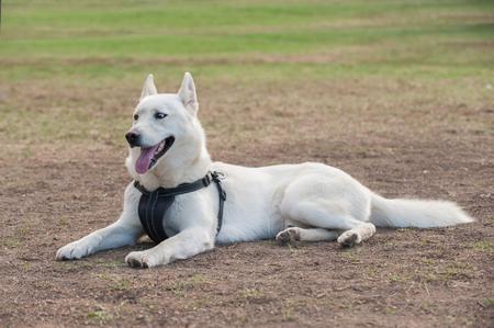 pal: White Siberian Husky lying on grass at park.