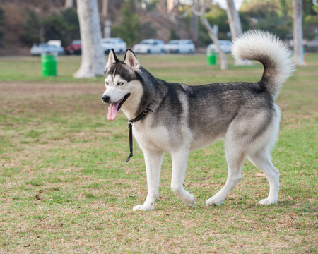 pal: Black and white Siberian Husky looking looking across grassy park. Stock Photo