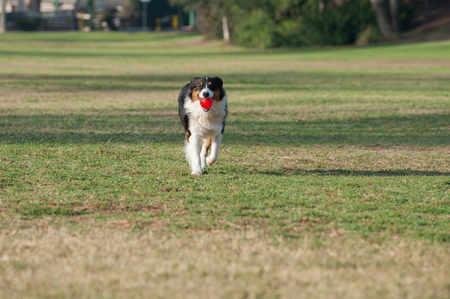 retrieving: Wide view of Australian Shepard looking ahead while retrieving ball in mouth. Stock Photo