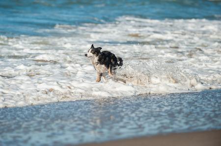 Energetic black and white Australian Shepard dog splashing through the beach surf. Stock Photo