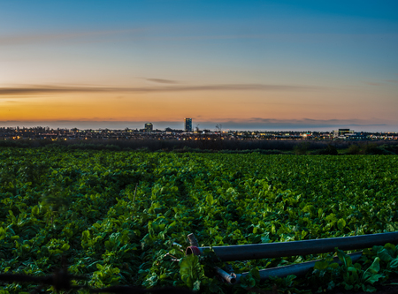 Panoramic view looking across Cabbage crops toward city lights.