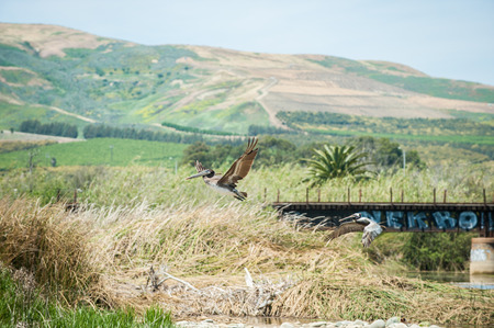 Brown Pelican duo flying with Ventura hills in background.