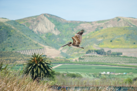 Brown Pelican flying with Ventura hills in background.