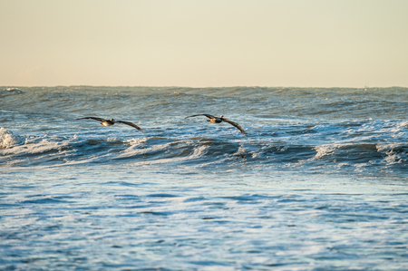 Pair of brown Pelicans soaring across the face of breaking waves in the surf.