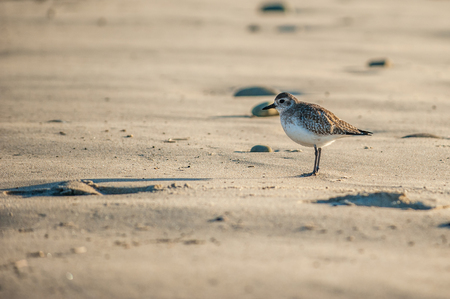 Sanderling bird casting a long shadow on morning beach while looking for first meal of the day.