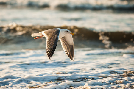 Beach Seagull in flight across the breaking waves of the California coast.
