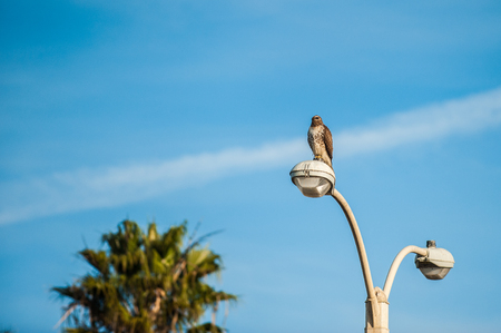 Coopers Hawk perched high on top of light pole overlooking the land for food.