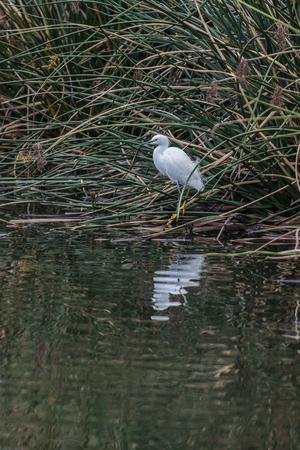 White Egret bird balanced on one leg with reflection at estuary shoreline. Stock Photo