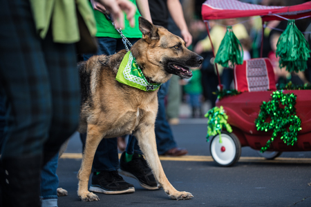Festive German Shepard dog walking parade route with handler while dressed in green Saint Patrick Day bandana around neck.