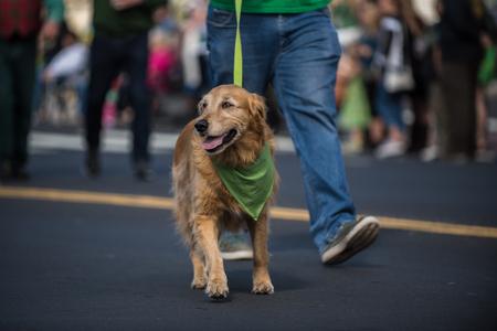Happy Golden Retriever walking along Saint Patrick Day parade route wearing green bandana around neck. Stock Photo