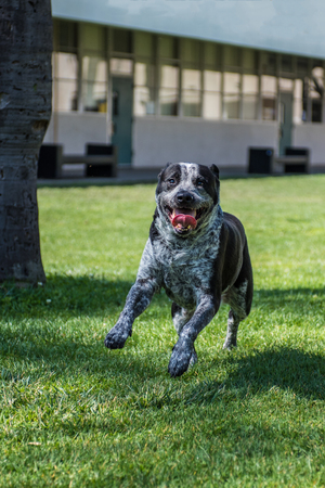 Eager mixed breed dog leaping and smiling on campus.