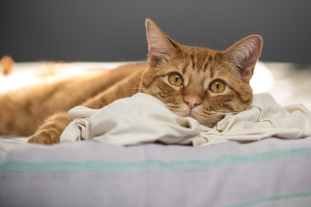 Lazy orange tabby cat resting sleep head on favorite t-shirt while taking an afternoon nap. 写真素材