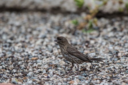 Small brown sparrow foraging among the pebbles for seed and bits of food while looking out for safety. Stock Photo