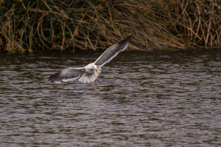 Seagull glides over estuary water surface to eat the meal captured in his beak. Stock Photo