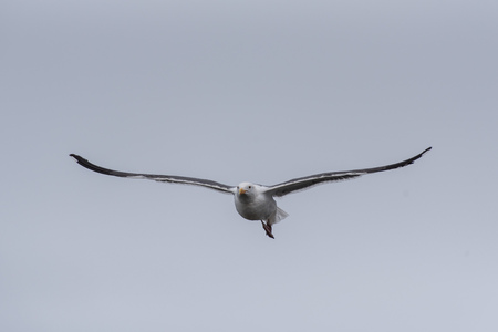 California Seagull soaring across the hazy sky with feathered wings spread wide. Stock Photo
