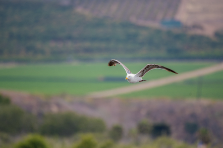 California Seagull flying back to the ocean after foraging over the coastal farmland hills for food. Stock Photo