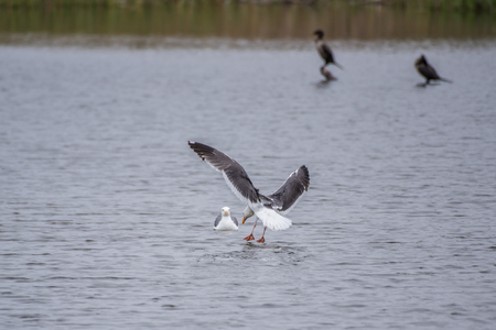 California Seagull with wings spread while softly landing on estuary water surface.