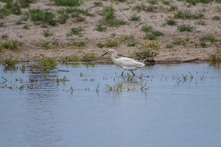 White egret and his reflection stalking the next meal in the pond water of the estuary.