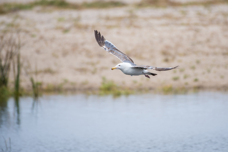 Wings of the Seagull spread wide while gliding across the pond water surface. Stock Photo