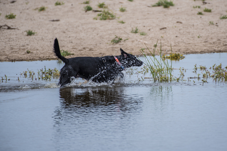Retriever dog playfully splashes through pond water at beach shore while chasing wildlife.