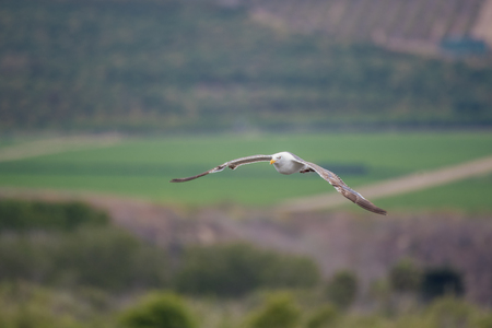 Wings of the seagull spread in perfect gliding position as it soars across Ventura agriculture fields.