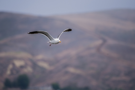 Wings spread as California Seagull soars across Ventura hillsides heading back to the beach
