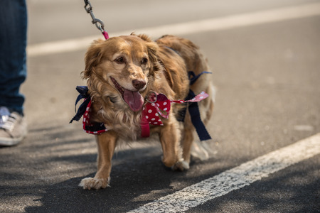 Mixed breed Doxen and Golden Retriever wearing red bow with white polka dots while walking the street.