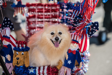 Happy Pomeranian dog very comfortable in float decorated with red, white, and blue for July 4th.