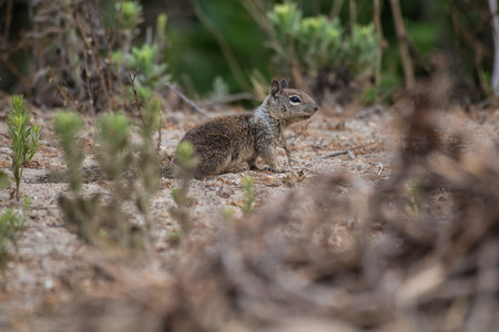 California Ground Squirrel foraging along the beach bushes for a morning meal. Stock Photo