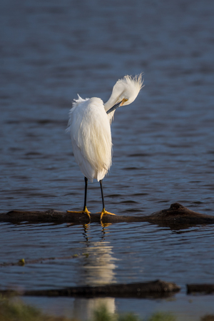 Snow white Egret using beak to groom the feathers of the wings while standing over reflection in estuary water.